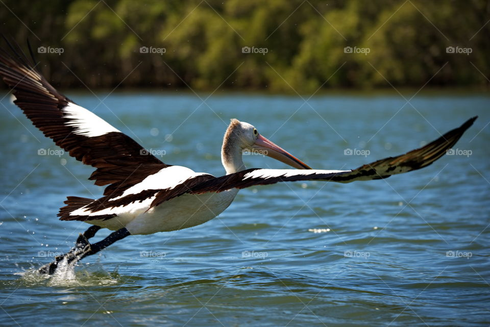 Pelican taking flight on a river in Queensland