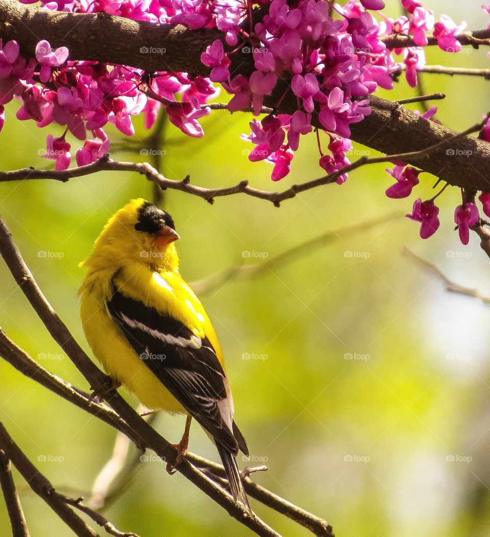 Goldfinch in the Spring