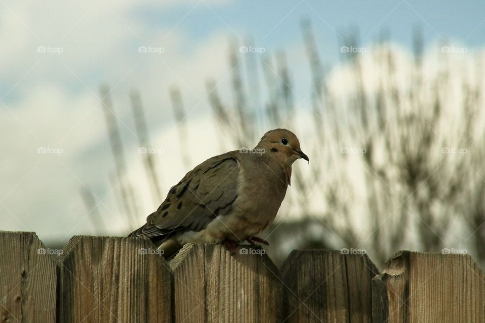 Dove sitting on the fence