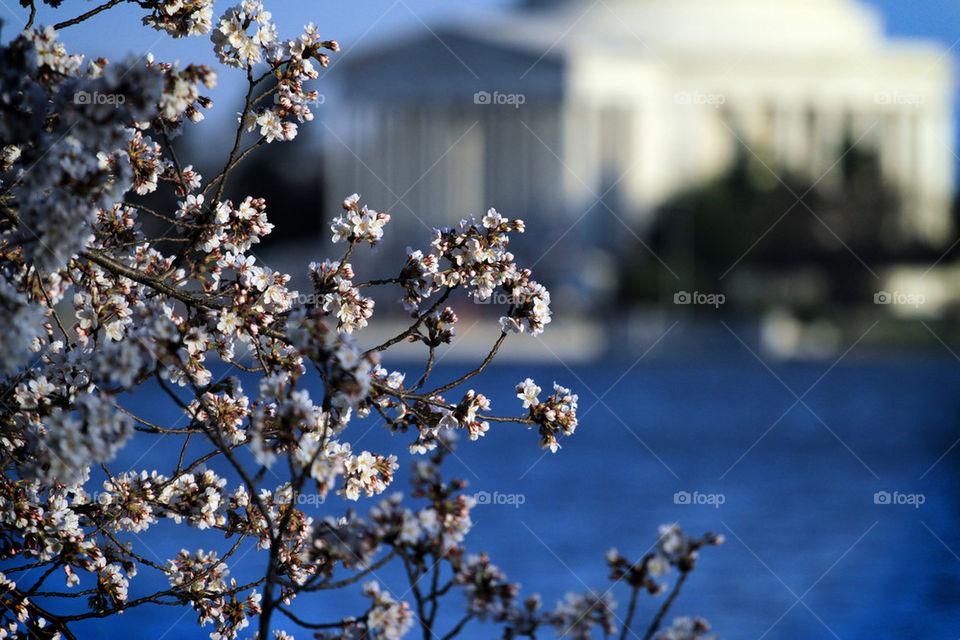 D.C. Cherry Blossom