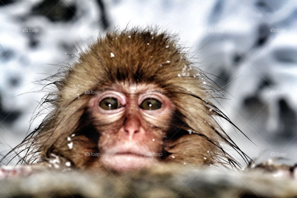 Japanese snow monkey chilling in hot spring . Japanese snow monkey chilling in hot spring