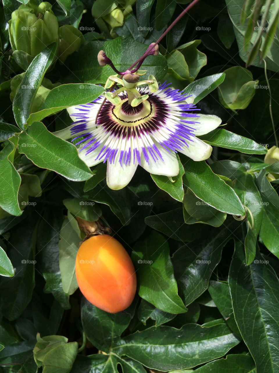 Passionfruit and flower. Passionfruit on my Passion flower