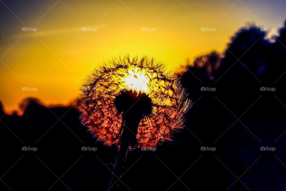Dandelion / Sunset