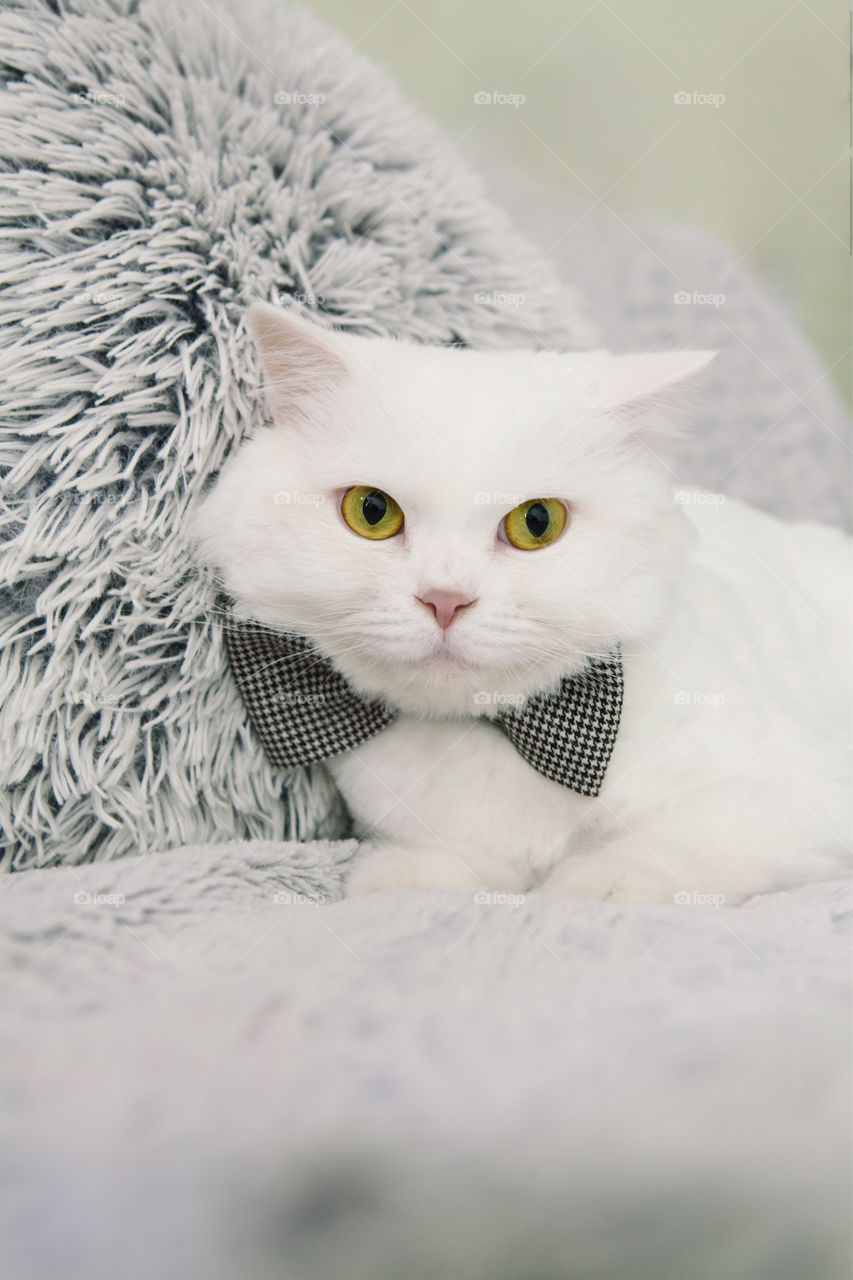White cat with bow on blanket