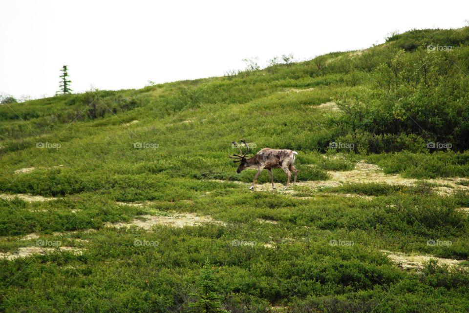 Barren ground caribou