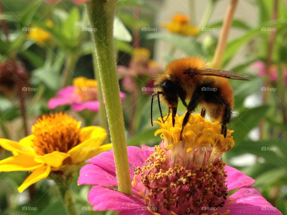 Near a big bee. A big bug look like a bee on a flower that sucks nectar