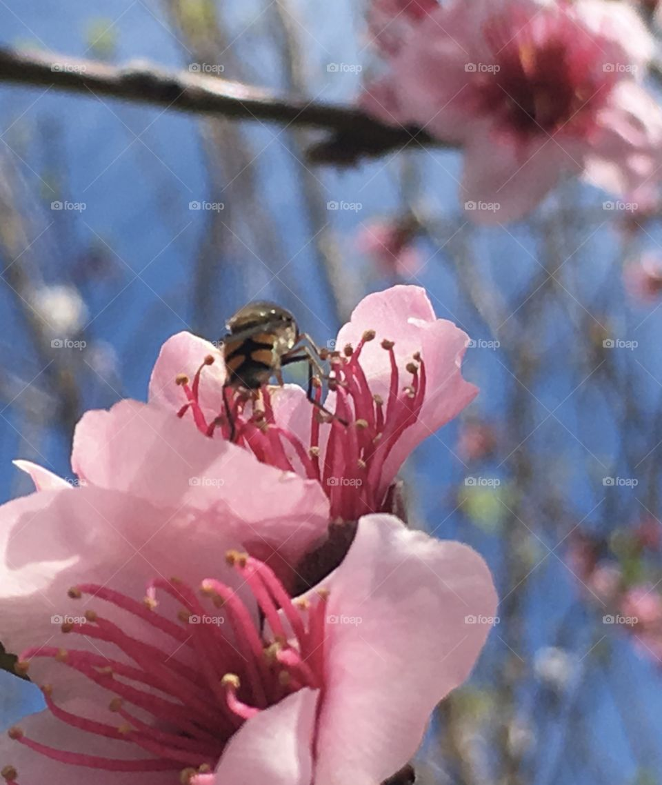 Closeup banded bee with feet on apricot blossom stamen