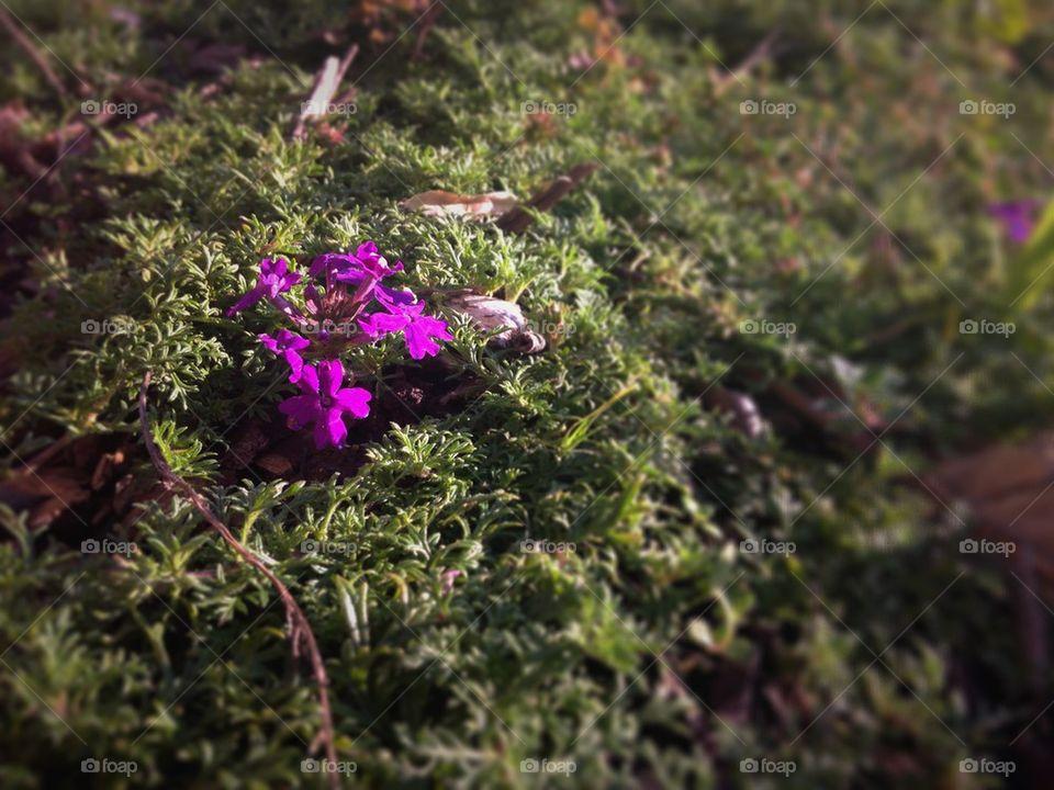 Purple Moss Verbena