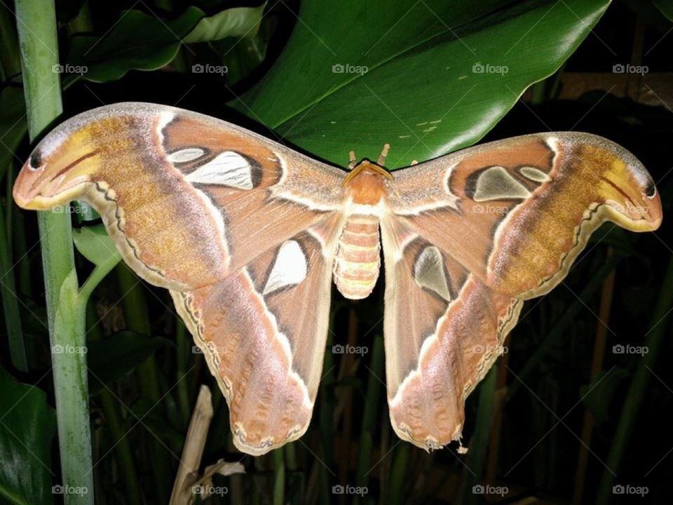 Snake head moth