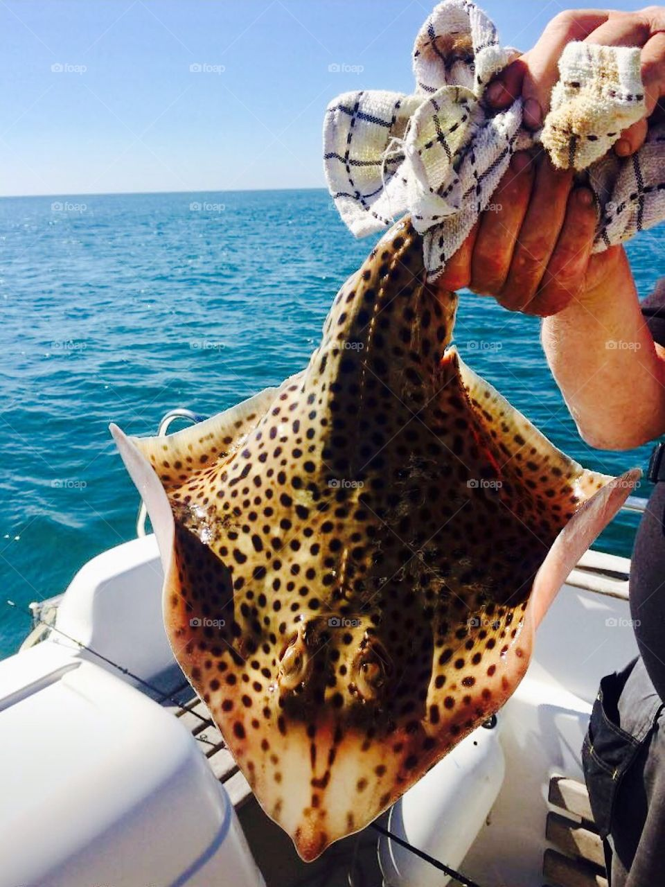 Freshly caught vibrant skate deep sea fishing in Weymouth southern England
