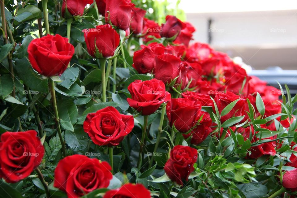 Kentucky Derby Roses