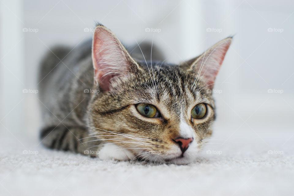 Tabby cat lying on carpet