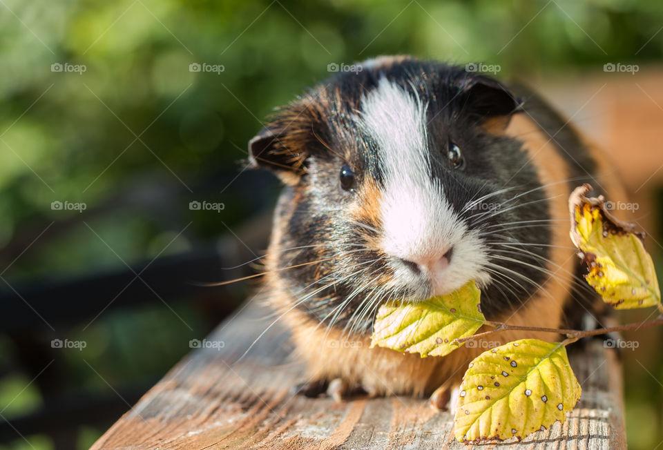 Guinea pig eating leaf outdoors
