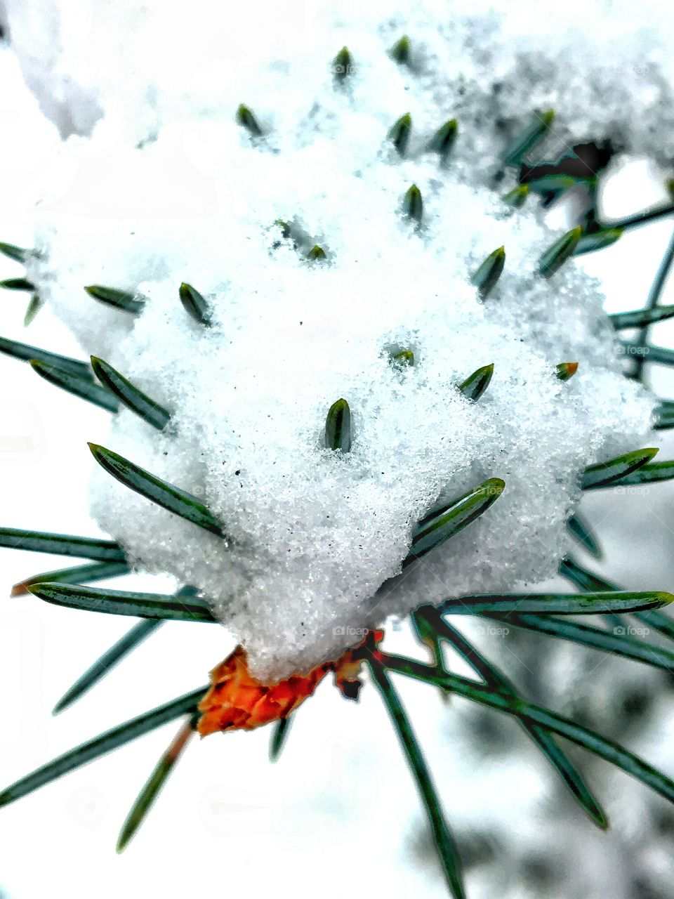 Fir needles covered with snow