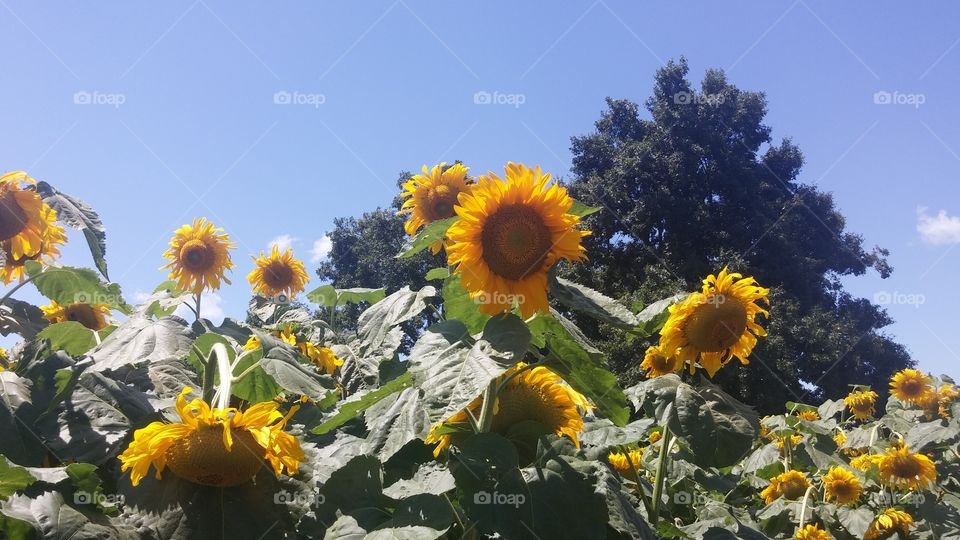 sunflowers. farms