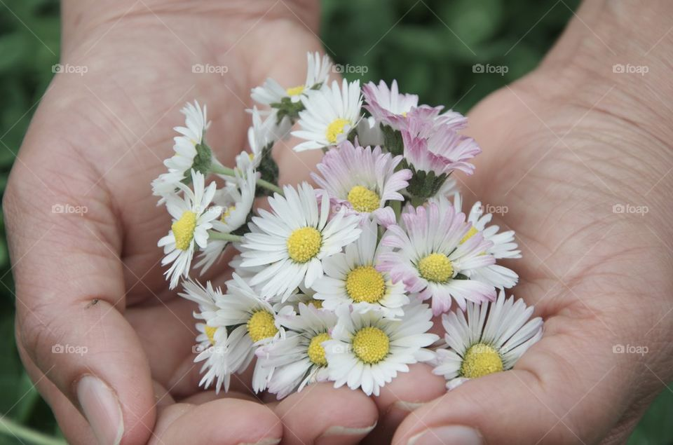 Daisies on hand palms