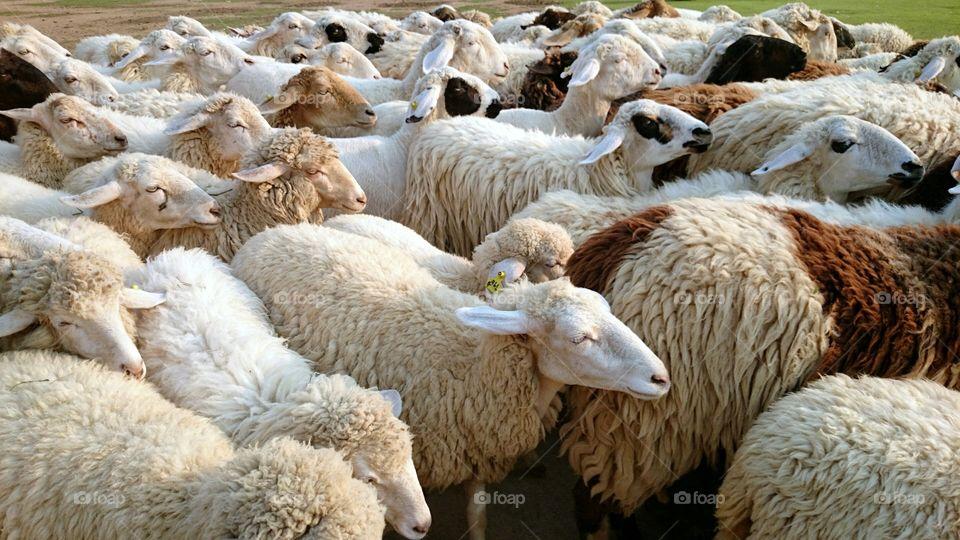 Sheep. sheep, 🐑 🐑 🐑,🐑 🐑 ,🐑 ,farm, fleece, wool, ttzanzone, z1f,sheep farm, animals