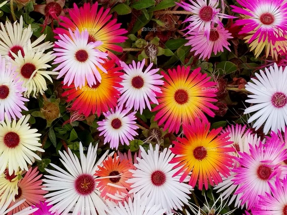 Beautiful flowers. Hardy ice plant (Delosperma) is a succulent, perennial ground cover with daisy-like flowers. The ice plant is not called an ice plant because it is cold hardy, but rather because the flowers and leaves seem to shimmer as though covered in frost or ice crystals. The plants grow to be about 3 to 6 inches tall and 2 to 4 feet