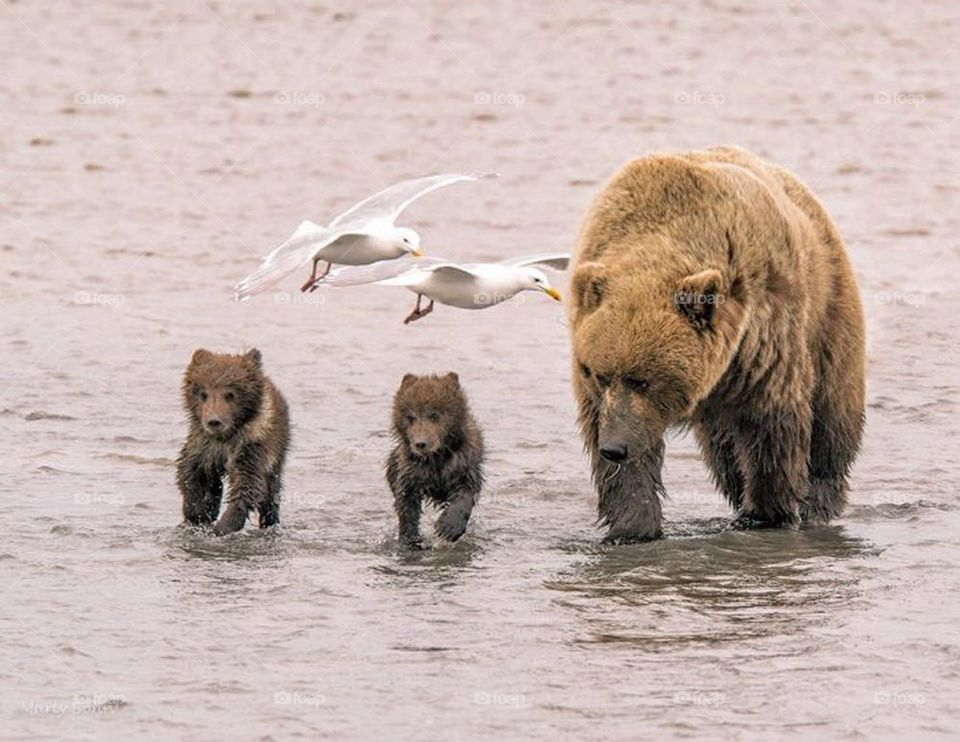 Bear cubs running with mom