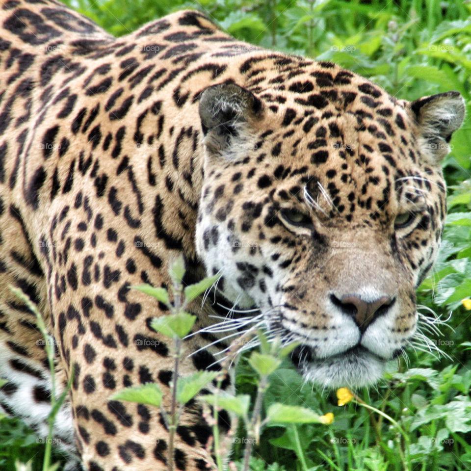 jungle cat africa leopard by geebee