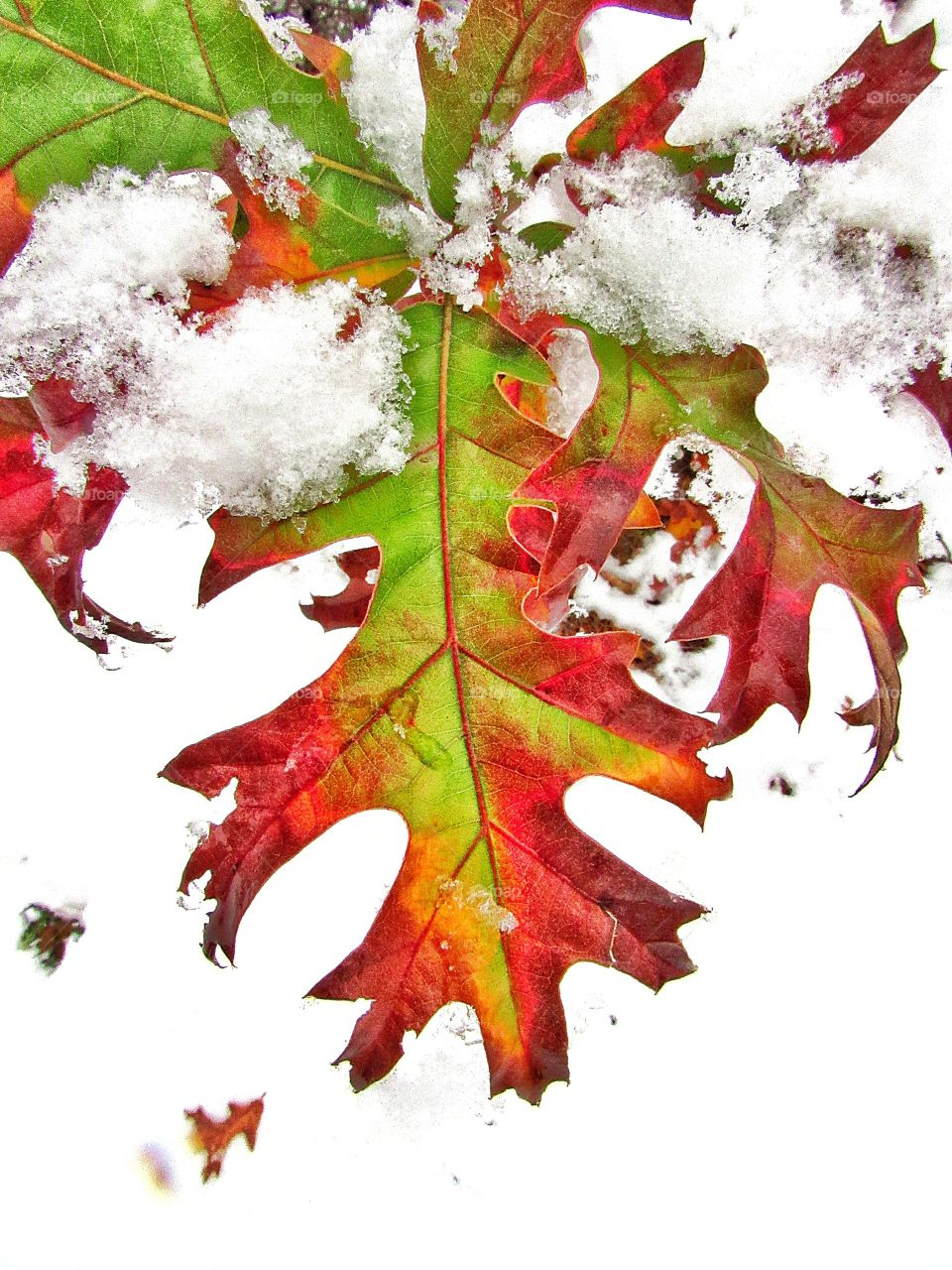 colorful leaves covered in snow