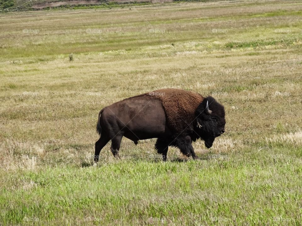 American Bison in NM. Near Cimarron NM, there is a herd of bison who are often close to the highway.