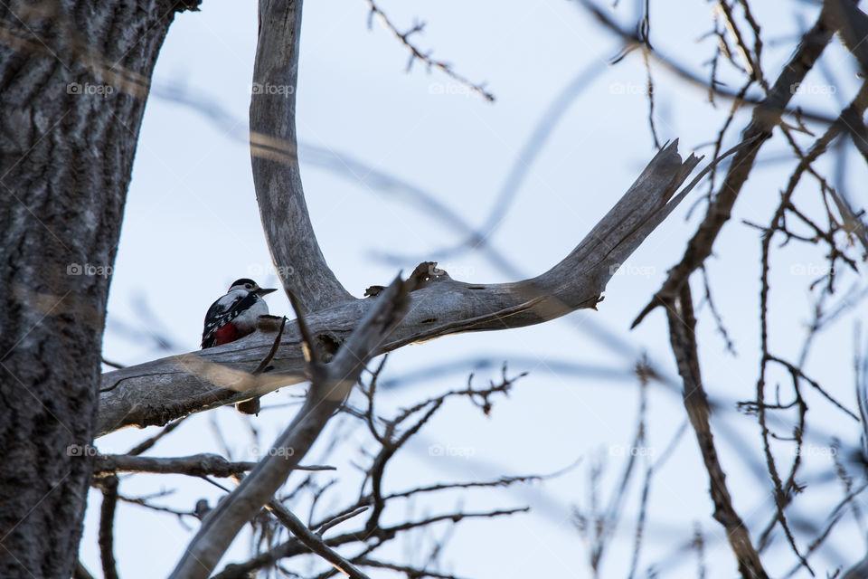 Woodpecker i Norway