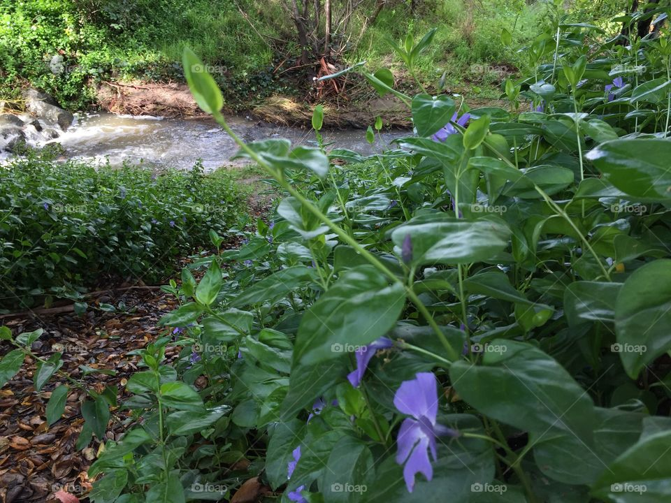 Flowers on creepers growing along the banks of a stream