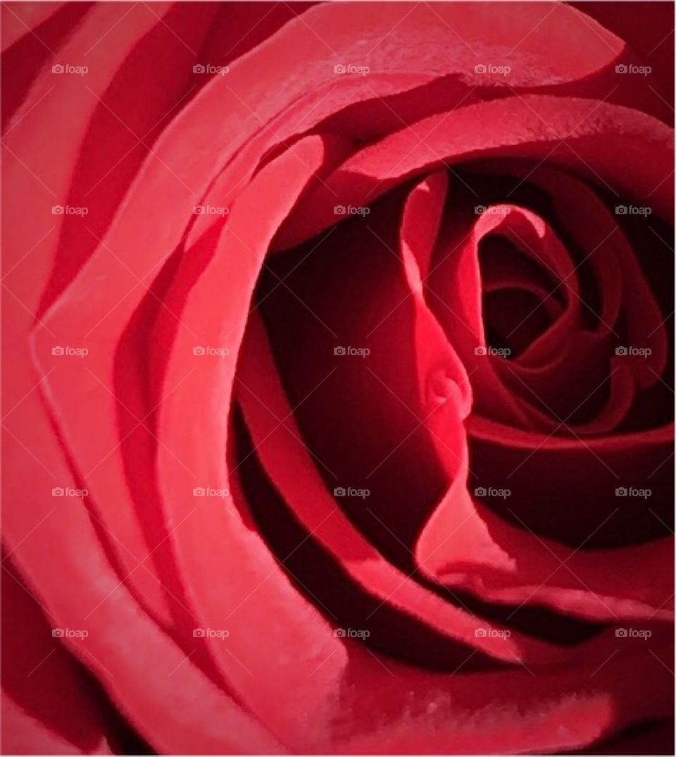 Close-up red rose