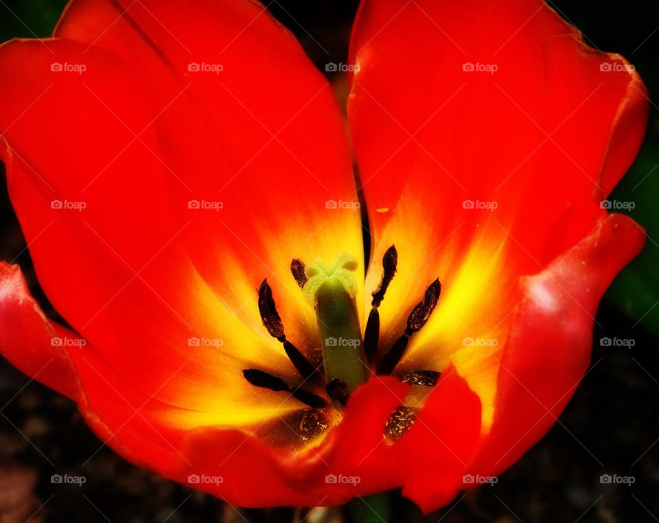 An up-close look at a fiery tulip bursting with vivid colors.