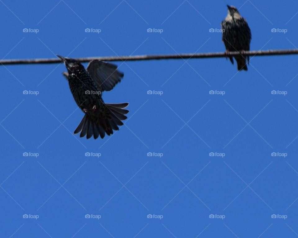bird inflght  by wire. bird inflght  by wire with other birds. wing &tail  fan out
