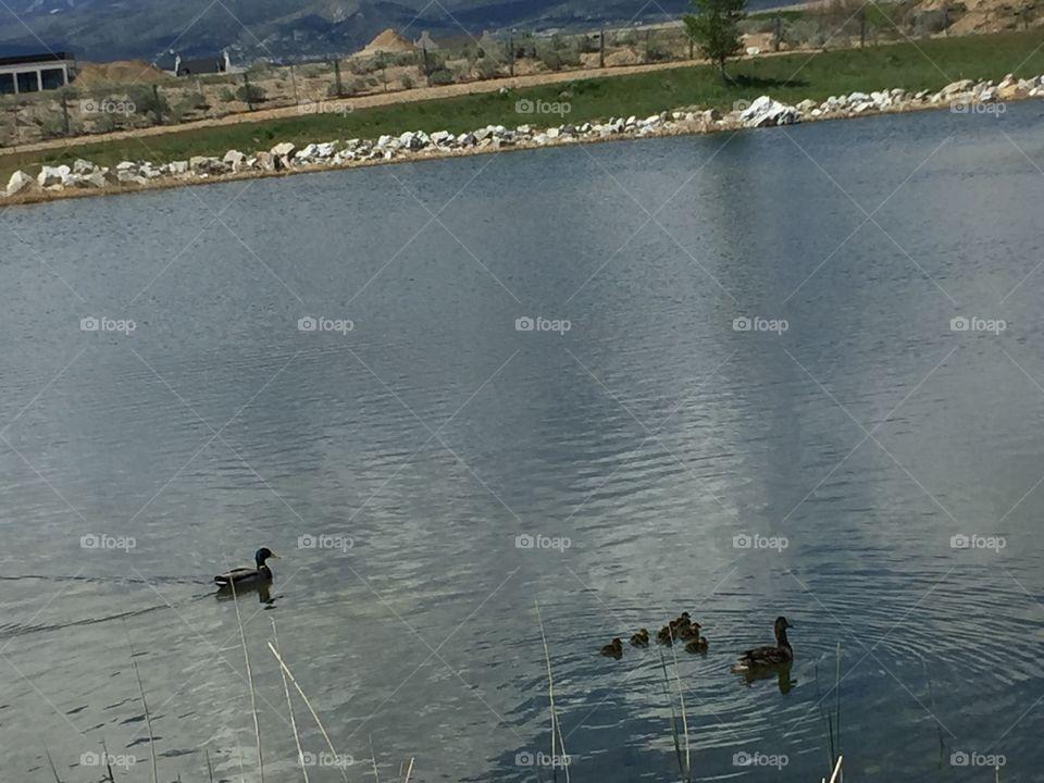Baby Ducks and Mommy Ducks in Oquirrh Lake, South Jordan, Utah. In Daybreak. Copyright © CM Photography. May 2019.