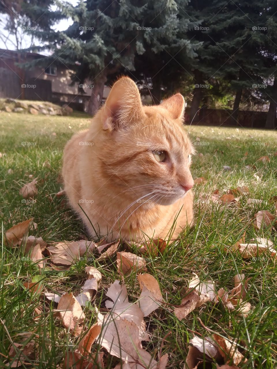 An orange cat named Butterbean in the grass 🐈