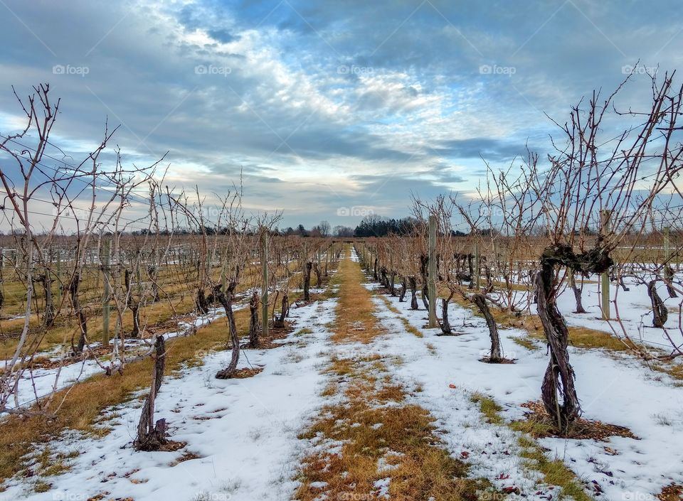 Grape vineyard at Working Dog Winery in New Je