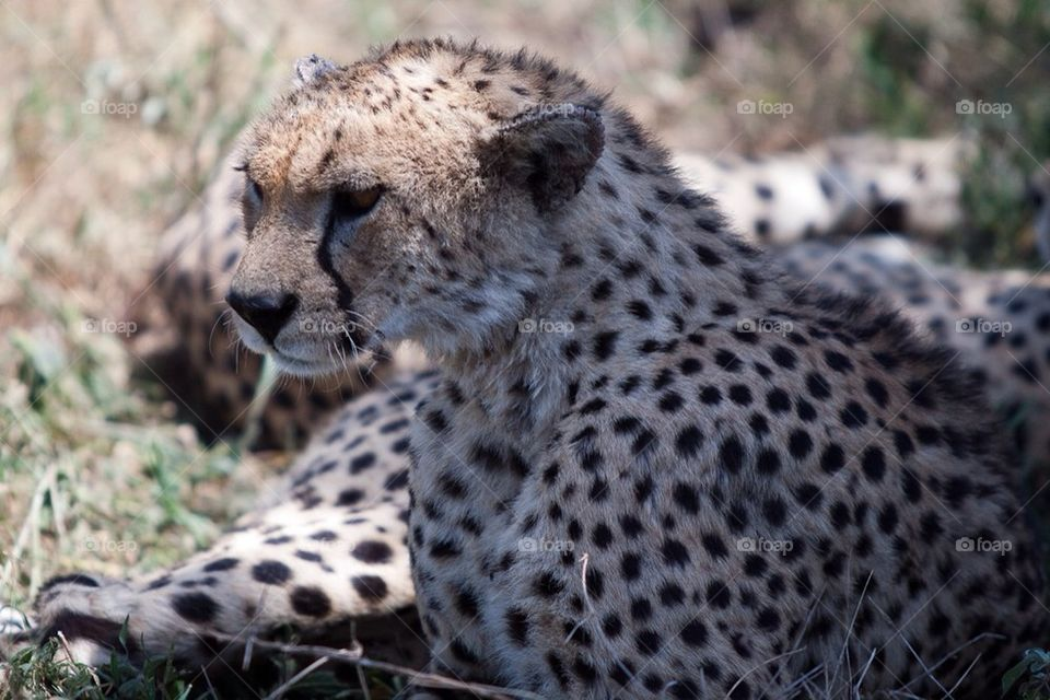 Cheetah | alonbj, serengeti, tanzania, cheetah