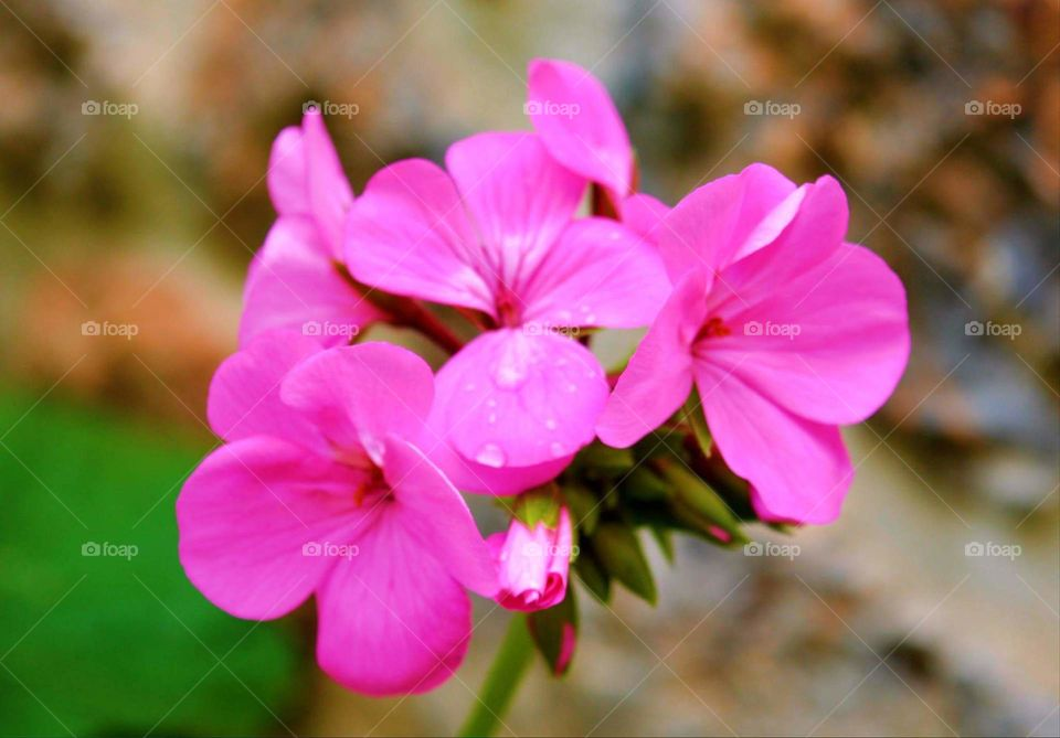 pink flower spring Greece nature