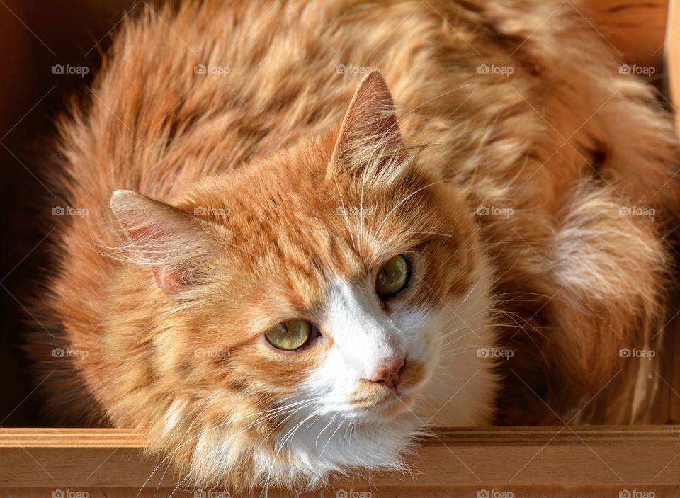orange cat pet resting