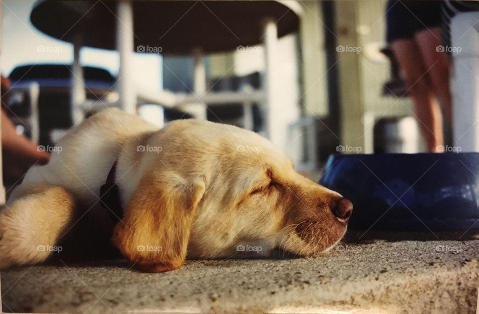 Yellow lab puppy sleeping