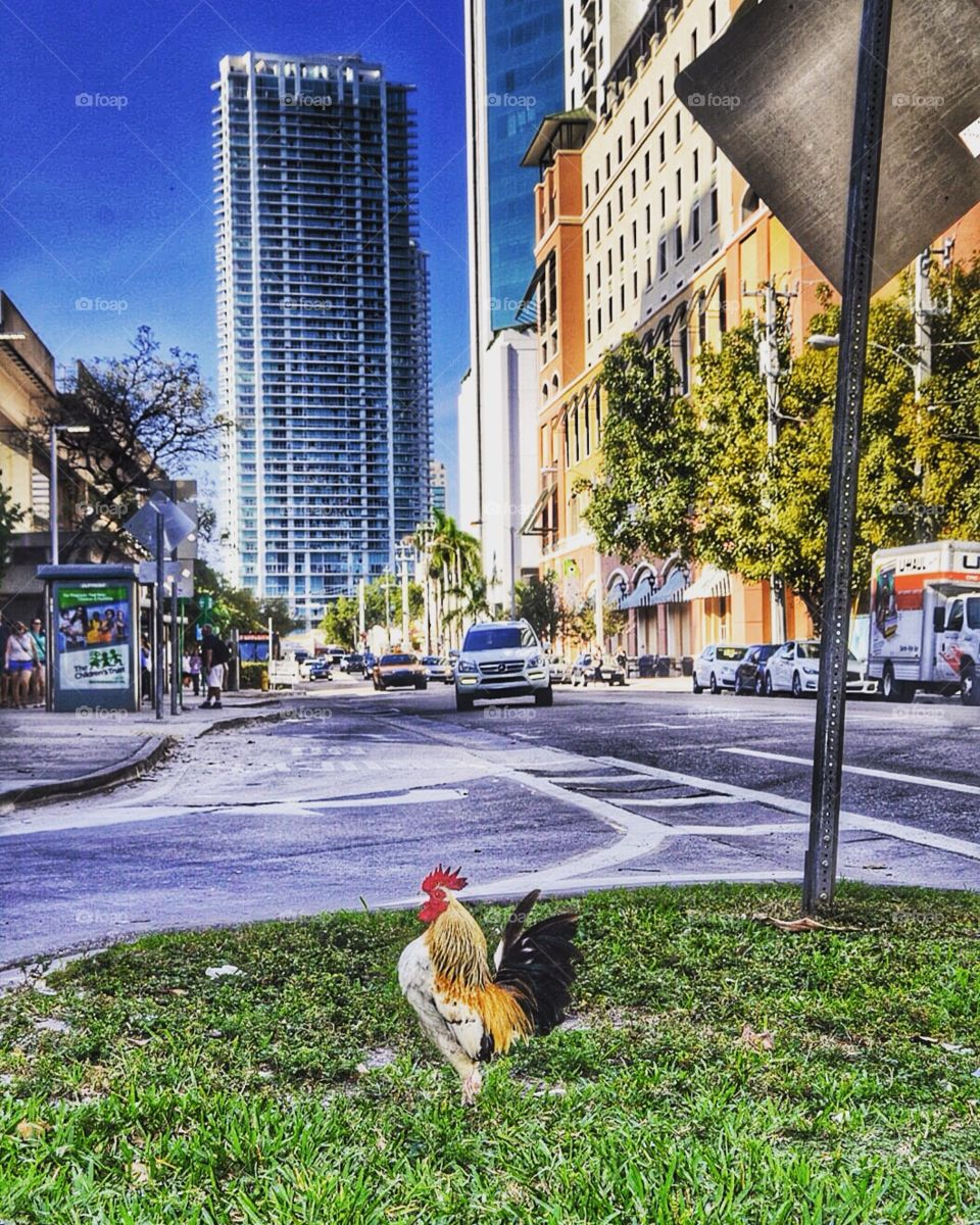 Cock in the city