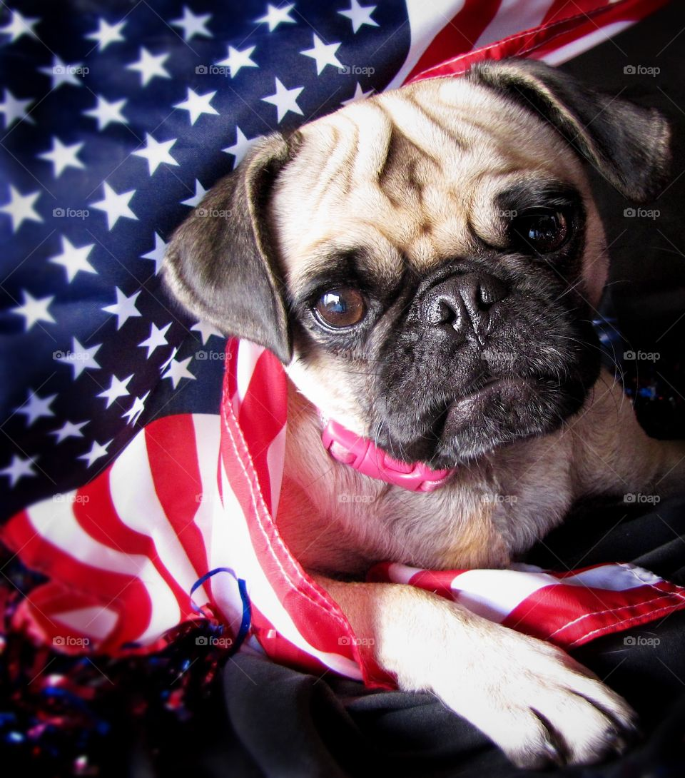 Pug wrapped in american flag and looking at camera