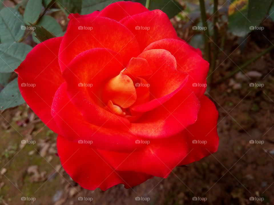 flower 2018-01-22 021  #আমার_চোখে #আমার_গ্রাম #nature #flower  #eukaryota #plantae #angiosperms #eudicots