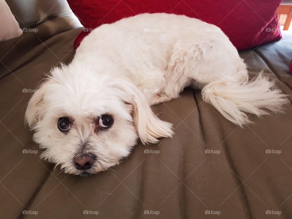 Cute Maltese Shitzu dog