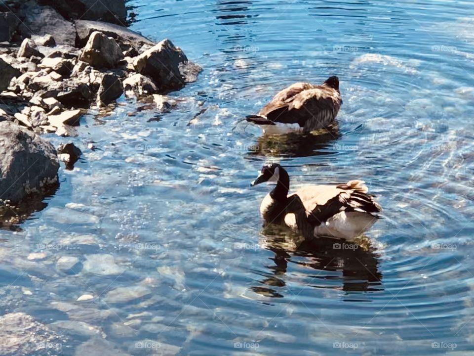 Beautiful Canadian Geese