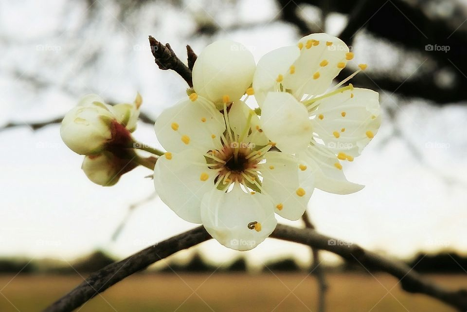 A Mexican Plum Tree blooms and buds at the beginning of spring with the tree and yellow grass in the blurred background with white and yellow flowers