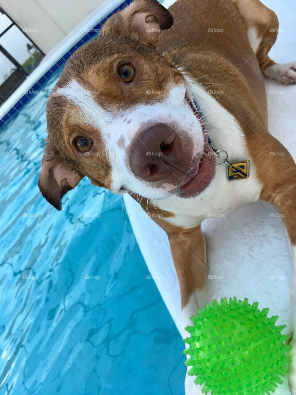 Happy wet rescue pitbull playing with a ball poolside