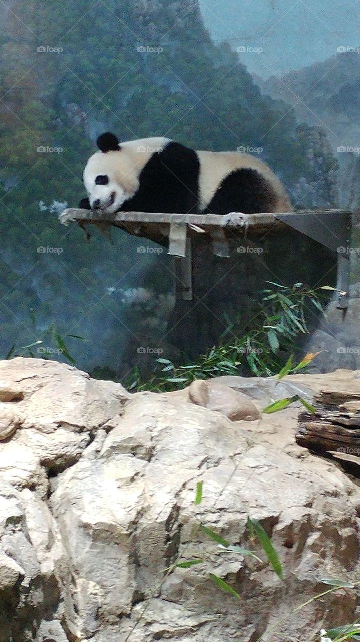 Male Panda at National Zoo