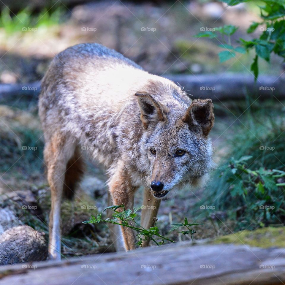 Northwest Coyote