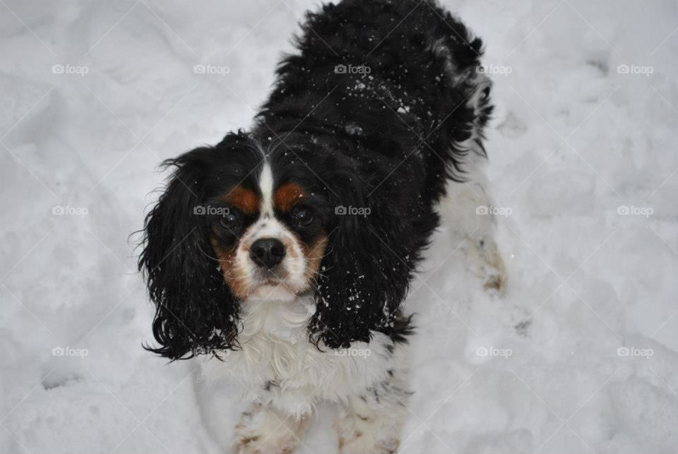 Walter the dog stands serenely in the snow. His body is cold but he's warm with excitement. He loves the white stuff!