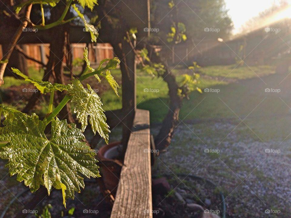 Spring Grape Vine