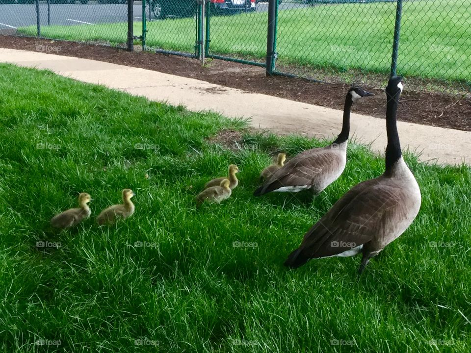 Canada Geese  Family in the park with chicks